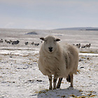 airfield, blue, Bodmin Moor, Cornwall, disused, frost, frozen, grass, grazing, moor, RAF, Rough Tor, Royal Air Force, Second World War, sheep, sky, snow, sunny, UK, white, World War 2, World War II, WWII