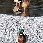 animals, bird, birds, brown, Bude, Bude Canal, canal, Cornwall, drake, drakes, duck, ducks, feathers, frost, frozen, green, ice, iridescence, iridescent, mallard, orange, sunny, UK, water